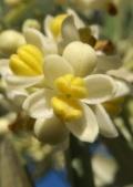 Olea europaea. Photo: Adrian 198 cm (license CC)