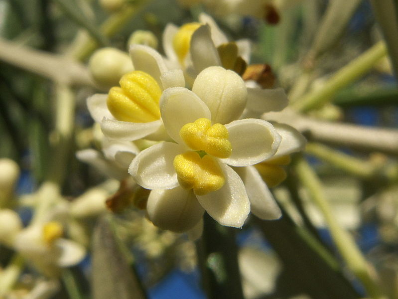 Olea europaea. Photo: Adrian 198 (license CC)